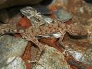 Gekon wachlarzopalcy, Ptyodactylus guttatus, Sinai Fan-fingered Gecko