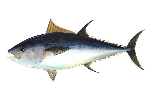 Tuńczyk pospolity, źródło: NOAA