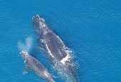 Wal bisakijski - samica z młodym