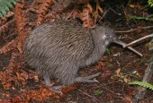 Kiwi brunatny