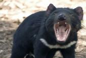Diabeł tasmański