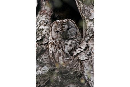 Puszczyk, Strix aluco, Tawny Owl, Brown Owl
