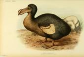 Dront dodo