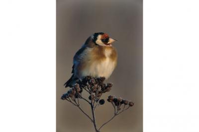 Szczygieł, Carduelis carduelis, Goldfinch