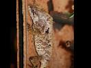 Legwan hełmiasty, Corytophanes cristatus, Helmeted Iguana