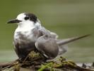 Rybitwa czarna, Chlidonias niger,Black Tern