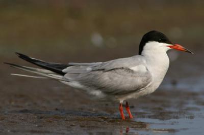Rybitwa rzeczna, Sterna hirundo, Common Tern