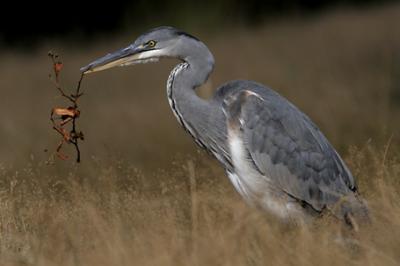 Czapla siwa, Ardea cinerea, Grey Heron