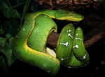 Boa psiogłowy, Corallus caninus, emerald tree boa