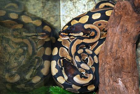 Pyton królewski, Python regius