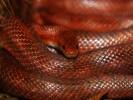 Wąż zbożowy, Pantherophis guttatus, Corn Snake