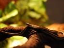 Wąż pończosznik, Thamnophis sirtalis, Common Garter Snake
