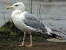 Mewa białogłowa, Larus cachinnans, Caspian Gull
