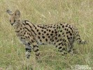 Serwal,Felis serval,serval