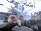 Makak japoński, Macaca fuscata, Japanese Macaque