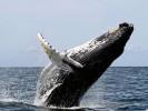 Humbak, Megaptera novaeangliae, humpback whale
