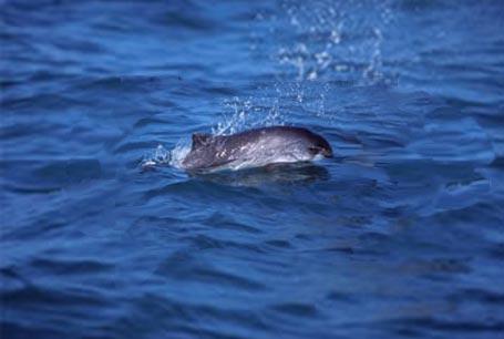 Morświn, Phocoena phocoena, Harbour Porpoise