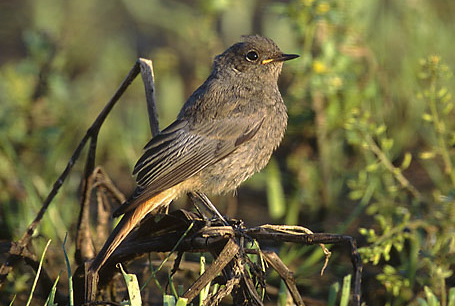 Kopciuszek, Phoenicurus ochruros, Black Redstart