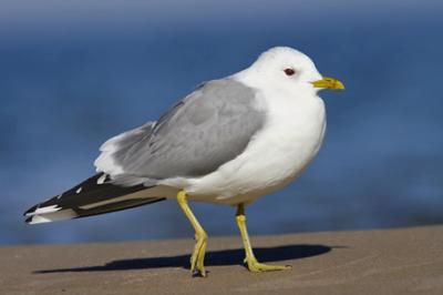 Mewa pospolita, Larus canus, Common Gull