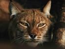 Ryś euroazjatycki,Lynx lynx,Eurasian lynx