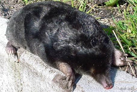 Kret europejski,Talpa europaea,European mole