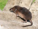 Ryjówka aksamitna, Sorex araneus, Common Shrew
