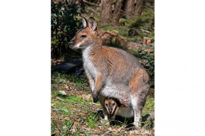 Walabia Benetta,Protemnodon rufogrisea,Red-necked Wallaby