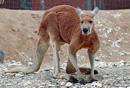 Kangur rudy,Macropus rufus,kangaroo