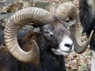 Muflon, Ovisn ammon musimon, mouflon