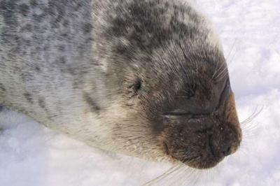 Nerpa,Phoca hispida, ringed seal