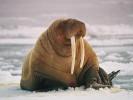 Mors, Odobenus rosmarus, walrus