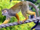 Sajmiri, Saimiri sciureus, Common Squirrel Monkey