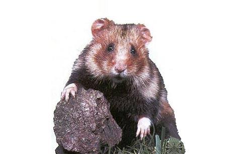 Chomik europejski,Cricetus cricetus,European Hamster