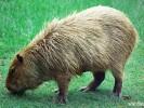 Kapibara,Hydrochoerus hydrochaeris,capybara