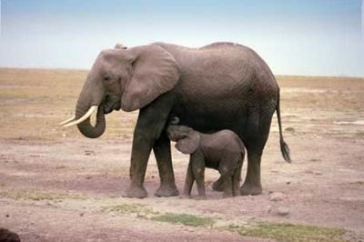 Słoń afrykański, Loxodonta africana, African Bush Elephant