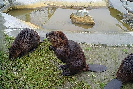 Bóbr europejski,Bóbr europejski,Castor fiber,European beaver