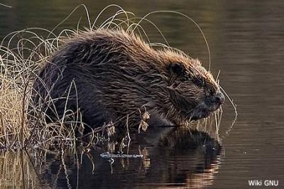 Bóbr europejski,Castor fiber,European beaver