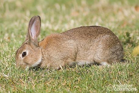 Królik, Oryctolagus cuniculus, European Rabbit