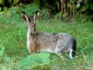 Zając szarak, European Hare, Lepus europaeus