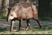 Tapir Anta, Tapirus terrestris, South American Tapir
