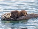 Wydra morska, Enhydra lutris sea otter