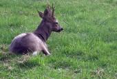 Sarna,Capreolus capreolus,Roe Deer