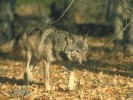 Wilk szary, Canis lupus, gray wolf, grey wolf