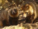 Jenot, Nyctereutes procyonoides, raccoon dog