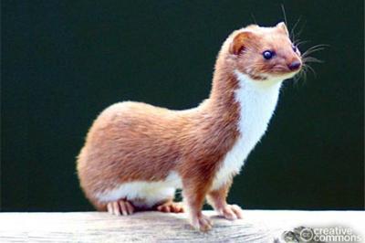 Łasica, Mustela nivalis, least weasel