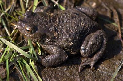 Ropucha szara, Bufo bufo, common toad