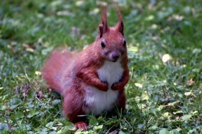 Wiewiórka pospolita, Sciurus vulgaris, red squirrel