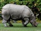 Nosorożec pancerny, Rhinoceros unicornis, nosorożec indyjski, Indian Rhinoceros