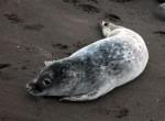 Foka szara,Halichoerus grypus,Grey Seal