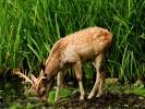 Daniel,Dama dama,Fallow Deer
